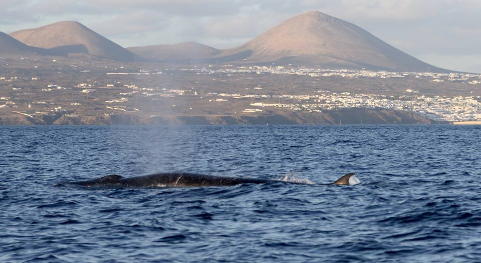 Sea_Safaris_whale_Lanzarote