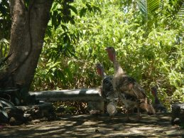 Wild turkeys on the church grounds