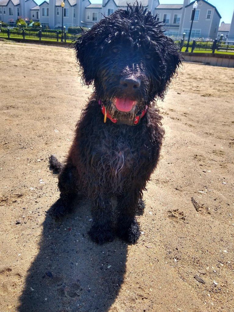Wet sandy portuguese water dog