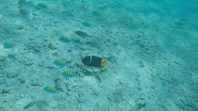 King Angelfish and Sergeant Majors