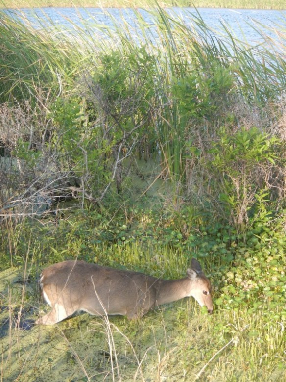 No gators at Gator Lake, just one very brave deer.