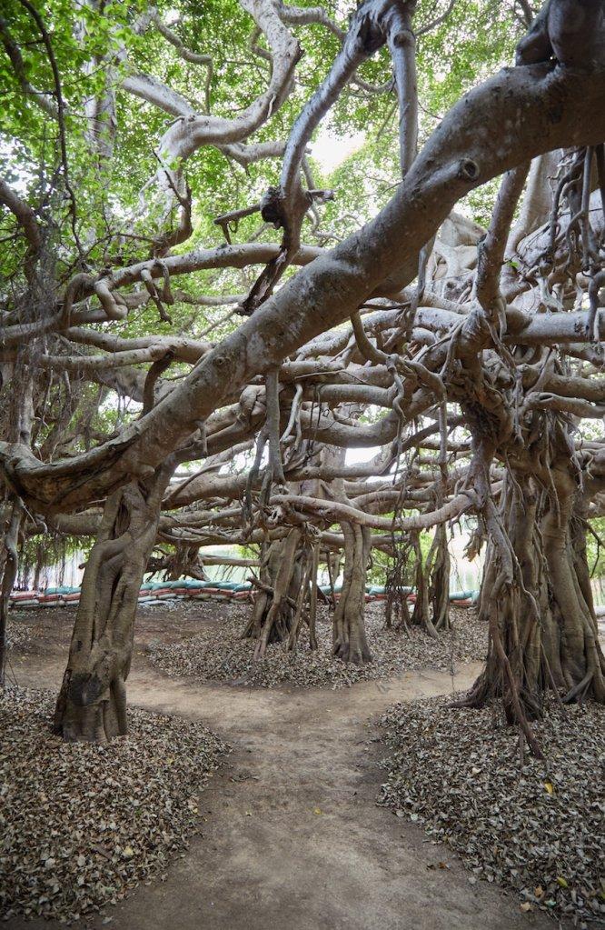 Phimai Banyan Grove