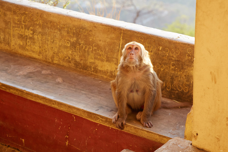 Monkey on Mt. Popa
