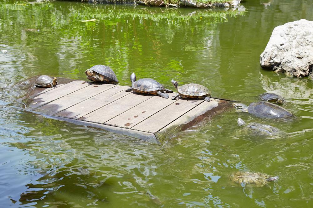 Prayurawongsawas Waraviharn Temple Turtles