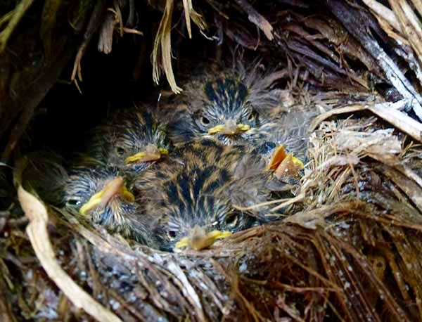 Pipit chicks in South Georgia: a conservation success for the South Georgia Heritage Trust