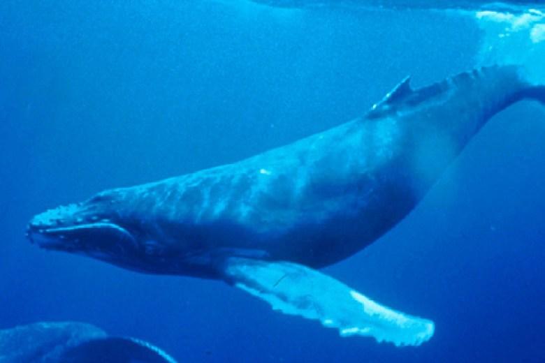 humpback_whale_underwater_shot640