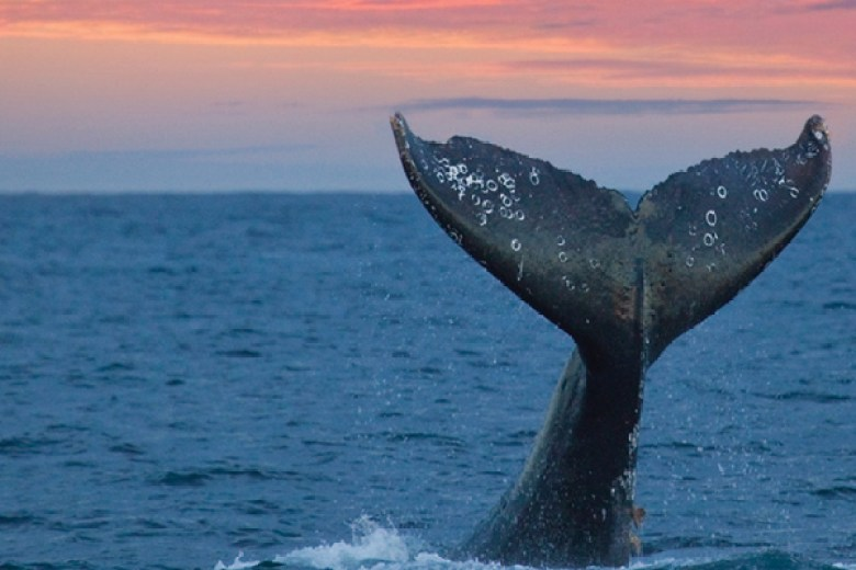 gray whale slide show in maui
