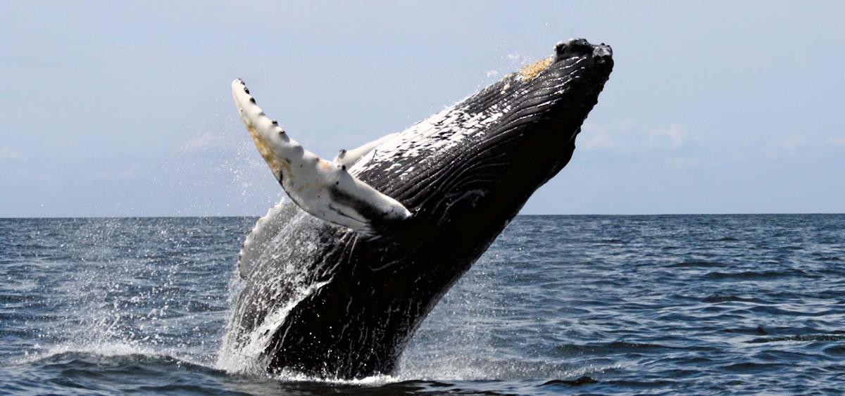 Banner-humpback