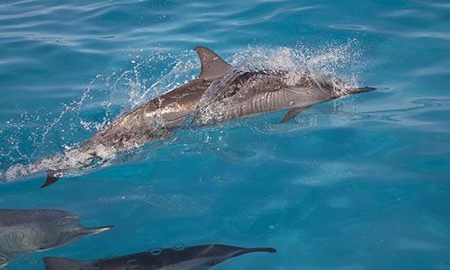 Spinner_dolphins_maui_hawaii