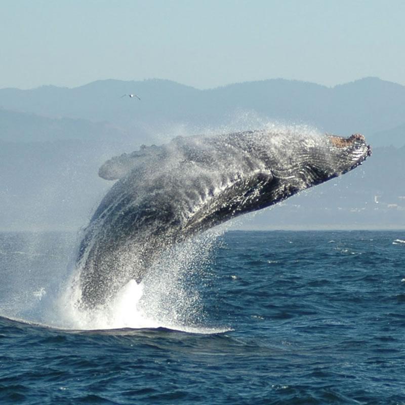 whaleheader