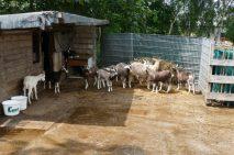 Goats at Kattendorfer Hof
