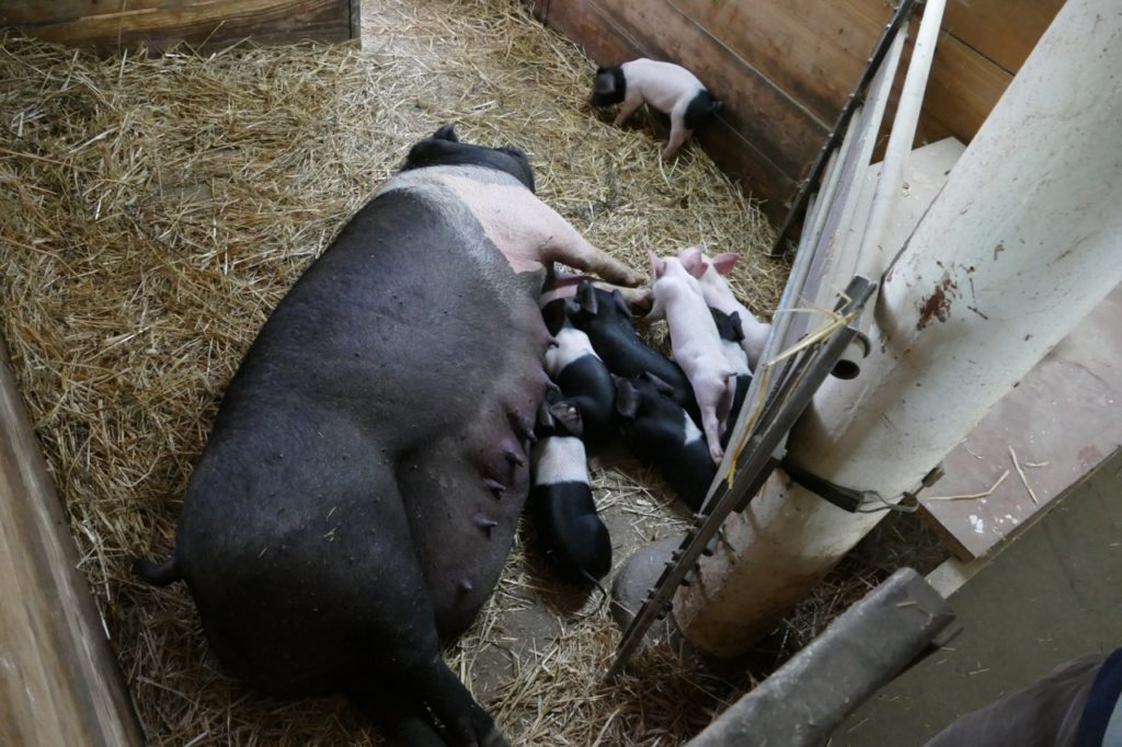 Pigs at Kattendorfer Hof