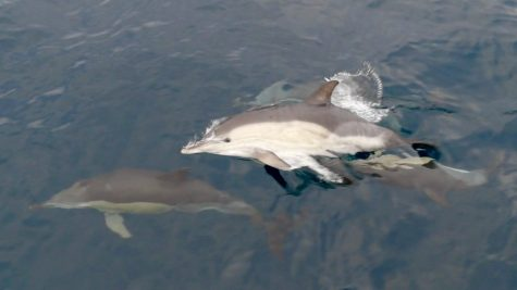 Dolphins in the Bay of Biscay