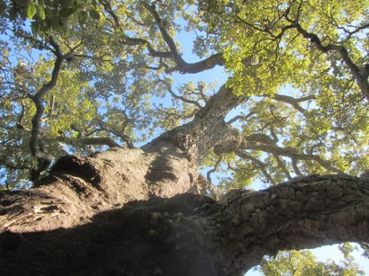 Magnum Corsican cork oak