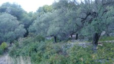 Forest overgrowing olive grove
