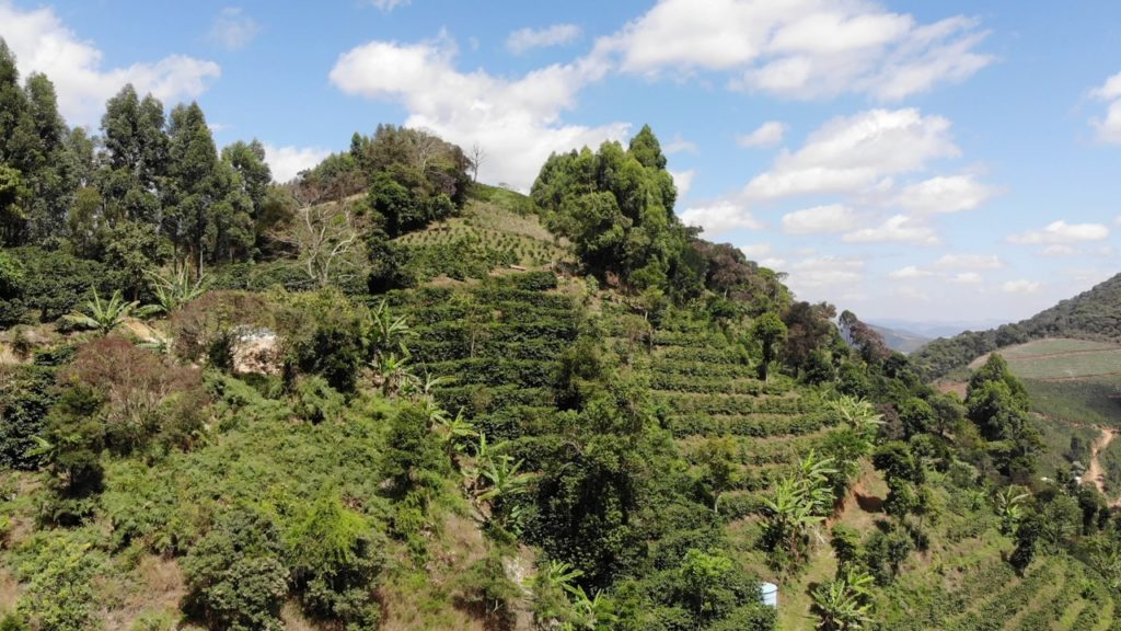 Araponga coffee forest