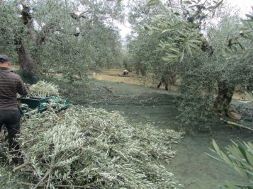 Seperating olives from pruned branches