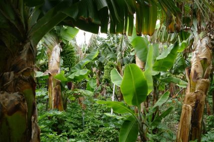 Lots of healthy, poison-free bananas