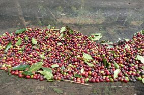 Freshly picked coffee beans