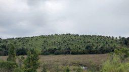 Monoculture plantation on former Atlantic Rainforest soil