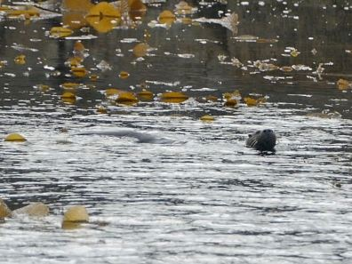 Otter swimming in Patagonia
