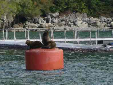 Sea lions near fish farm in Patagonia