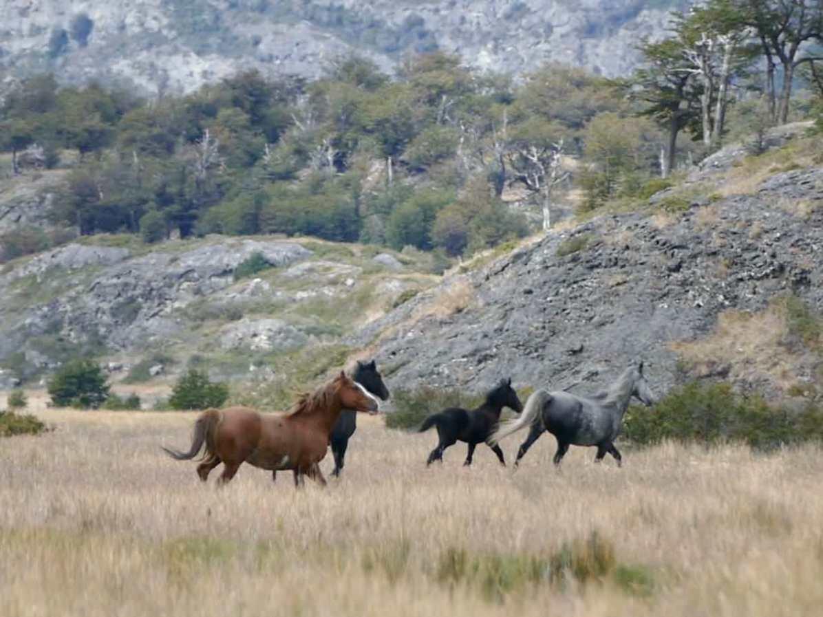 Wild Horses at Bahía Yendegaia