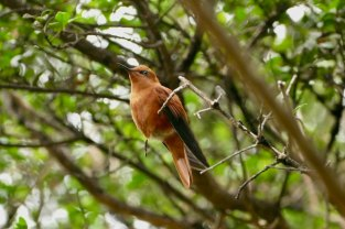 Male Juan Fernandez Hummingbird