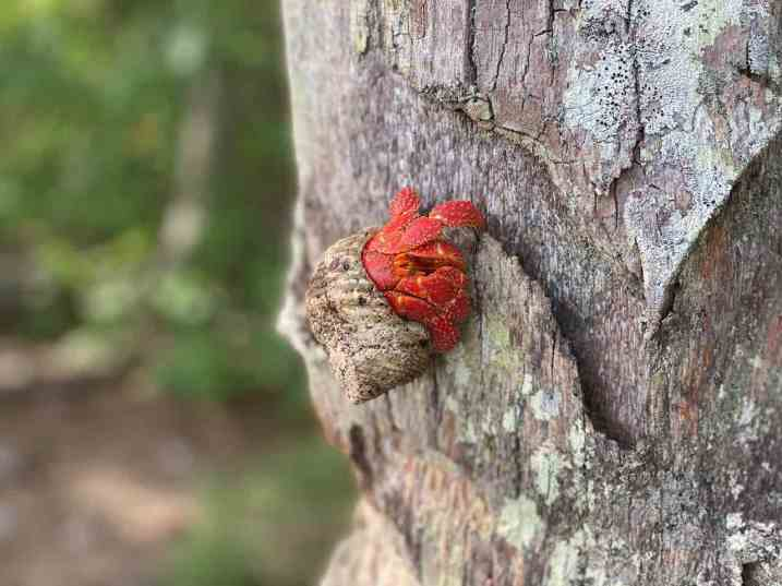The hermit crabs even climb trees