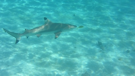 Black tip reef shark with yellow fish