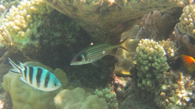 Fish between the coral