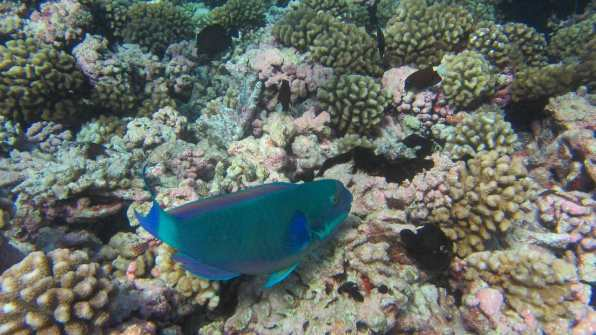 Parrot fish ready to nibble
