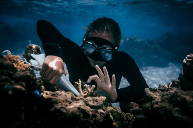 Transplanting coral -Picture by Coral Gardners Kelsey Williamson