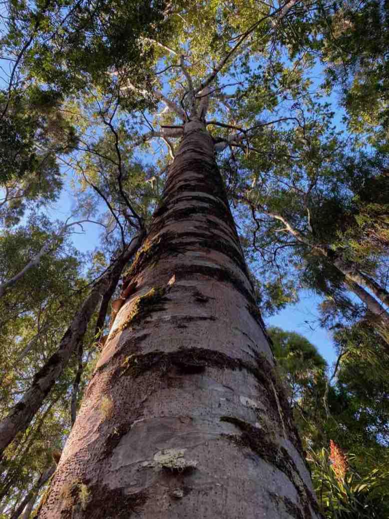 Straight tall Kauri tree