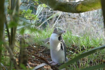 We came to the right place to spot a yellow-eyed penguin