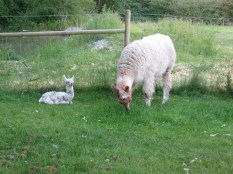 Baby and Mama Llama at my brother's place - 6 hours old.