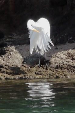 snowy-egret-preening