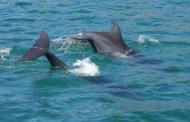 Dolphin tails San Carlos