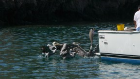 Pelican bill