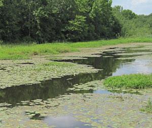 Alga yang memenuhi danau