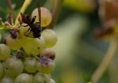 Vespa velutina le frelon asiatique