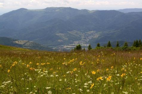 4-Arnica-Vosges
