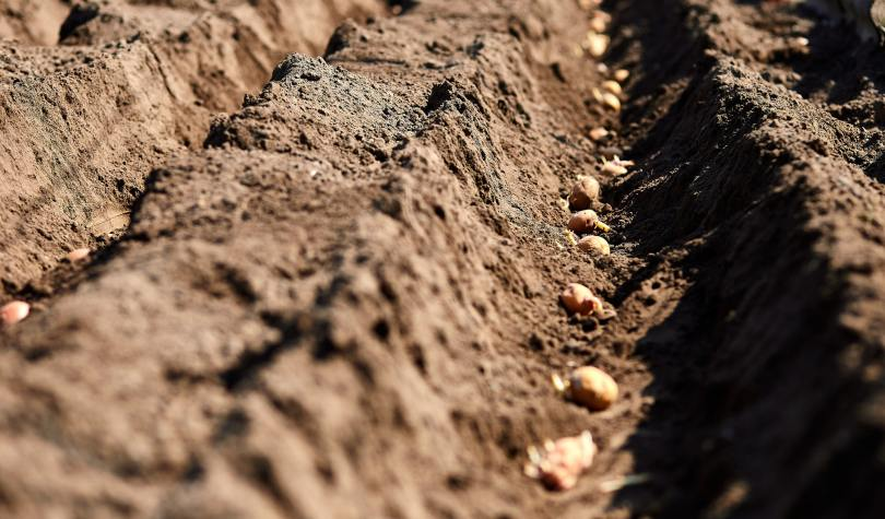 Process of planting potato field in the vegetable garden, close up.