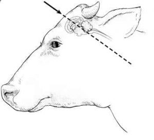 captive-bolt-placement-cattle-sideview