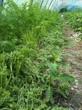 Taille fanes de carottes