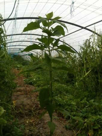 Plant de topinambour