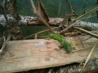 Lézard vert des semis - à la cool