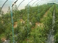 Plants de tomates - 4 juillet