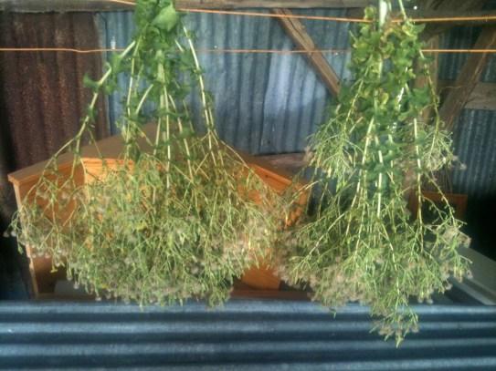 Séchage des plants de salade en graine