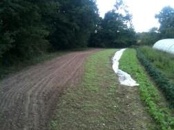 Passage herse après semis engrais vert
